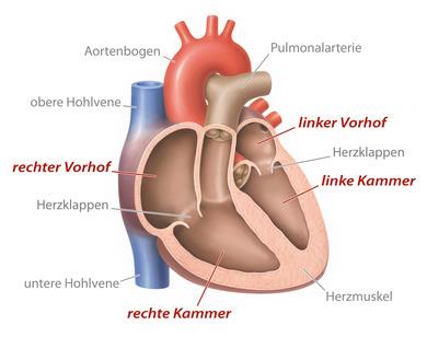 Herzklappen steuern den menschlichen Körper - Heilstrategie