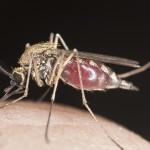 Eine Tigermücke auf menschlicher Haut